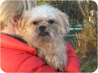 Brussels Griffon Dog for adoption in Long Beach, New York - Wesley