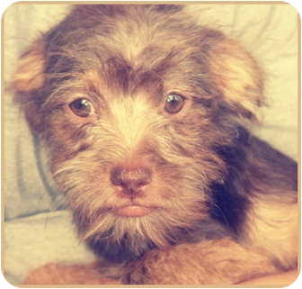 Shih Tzu/Chihuahua Mix Puppy for adoption in Lake Forest, California - Alvin