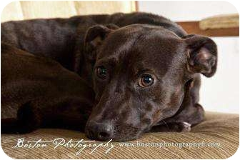 American Staffordshire Terrier Mix Dog for adoption in Callahan, Florida - Papi