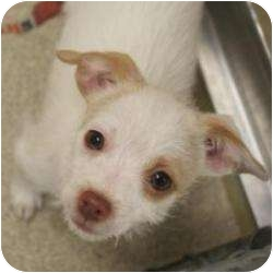 Chihuahua/Poodle (Toy or Tea Cup) Mix Puppy for adoption in Naperville, Illinois - Beanie (Tina)