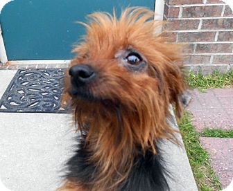 Yorkie, Yorkshire Terrier/Chihuahua Mix Dog for adoption in Morehead City, North Carolina - Luna