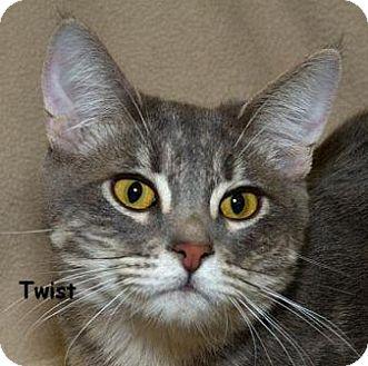 Domestic Mediumhair Cat for adoption in Sacramento, California - Twist N