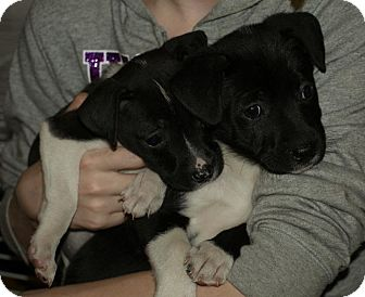 Labrador Retriever Mix Puppy for adoption in Lima, Pennsylvania - Layla & Lucas