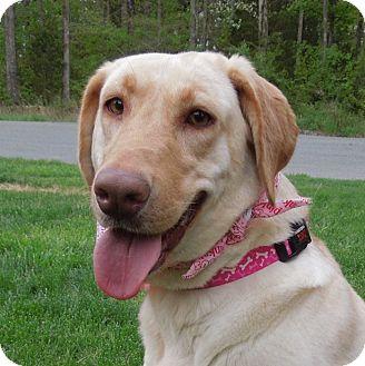 Labrador Retriever Mix Dog for adoption in Charlotte, North Carolina - Naomi