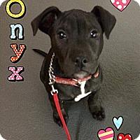 Adopt A Pet :: Onyx - Burr Ridge, IL
