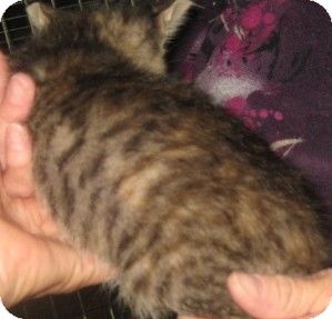 Bengal Kitten for adoption in Dallas, Texas - Cranberry