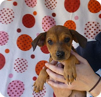Beagle Mix Puppy for adoption in Oviedo, Florida - Tilly