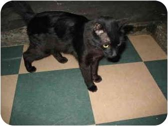 Domestic Mediumhair Cat for adoption in South Lake Tahoe, California - Emma