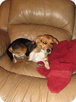 Beagle Dog for adoption in Allentown, Pennsylvania - Sally