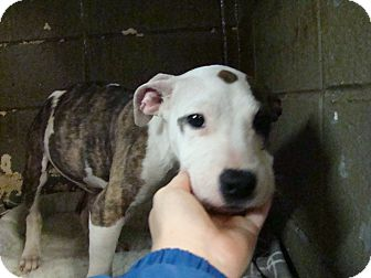 Pit Bull Terrier Mix Puppy for adoption in Henderson, North Carolina - Sky