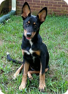 Australian Kelpie Mix Puppy for adoption in Chattanooga, Tennessee - Aladdin
