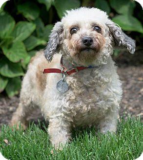 Poodle (Miniature) Dog for adoption in Port Washington, New York - Toto