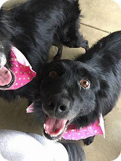 Border Collie Mix Dog for adoption in Laingsburg, Michigan - Sabrina