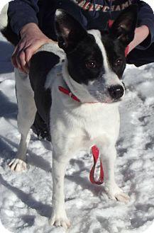 Terrier (Unknown Type, Medium)/Blue Heeler Mix Dog for adoption in Cheboygan, Michigan - Oreo