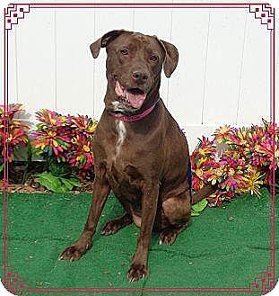 Labrador Retriever Mix Dog for adoption in Lebanon, Maine - Lola-LOCAL
