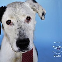 Adopt A Pet :: Duke - Castaic, CA