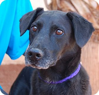 Labrador Retriever Mix Dog for adoption in Las Vegas, Nevada - Shogun