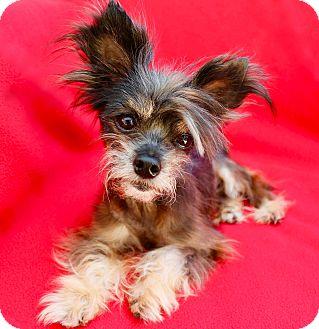 Yorkie, Yorkshire Terrier/Schnauzer (Miniature) Mix Dog for adoption in Irvine, California - Skipper