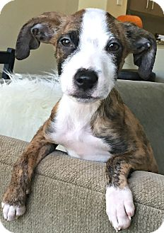 Boxer/Plott Hound Mix Puppy for adoption in Boulder, Colorado - Storm