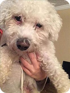 Bichon Frise Mix Dog for adoption in Encino, California - Casper