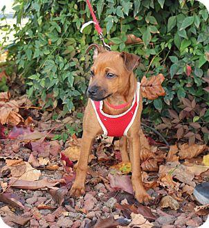 Chihuahua Mix Puppy for adoption in Yuba City, California - Bo