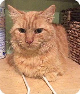 Domestic Longhair Cat for adoption in Breinigsville, Pennsylvania - Maggie