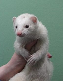 Ferret for adoption in Hartford, Connecticut - Bebe
