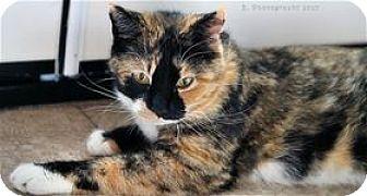 Calico Cat for adoption in Rocklin, California - Bacon