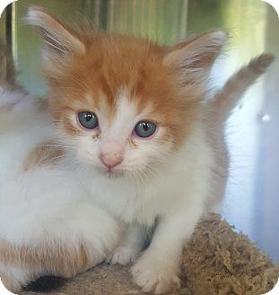 Domestic Shorthair Kitten for adoption in Oakland, Michigan - Blue Moon