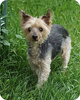 Yorkie, Yorkshire Terrier Dog for adoption in Port Clinton, Ohio - KG