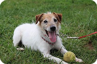 Jack Russell Terrier Mix Dog for adoption in Elyria, Ohio - Eddie