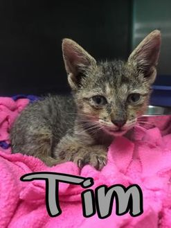 Domestic Shorthair/Domestic Shorthair Mix Cat for adoption in Huntsville, Texas - Tim