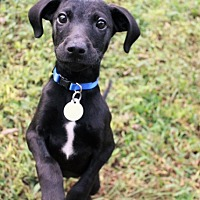 Adopt A Pet :: Tarly - Chattanooga, TN