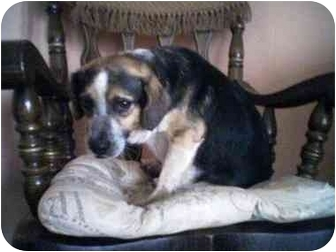 Beagle Dog for adoption in Roosevelt, New Jersey - Buster
