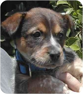 Australian Cattle Dog Mix Puppy for adoption in El Segundo, California - Abby