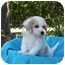 Photo 1 - Maltese/Poodle (Toy or Tea Cup) Mix Puppy for adoption in Newport Beach, California - HOWIE