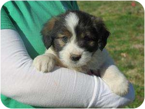 Polish Lowland Sheepdog/Bearded Collie Mix Puppy for adoption in Westbrook, Connecticut - Christopher Plummer