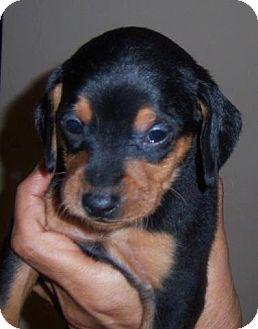 Beagle/Dachshund Mix Puppy for adoption in Garden City, Michigan - Sunny