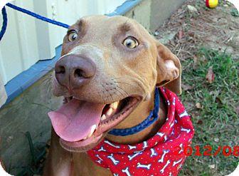 Weimaraner Mix Dog for adoption in North Little Rock, Arkansas - Bull