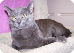 Russian Blue Cat for adoption in Colorado Springs, Colorado - Lennon