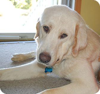 Golden Retriever/Labrador Retriever Mix Dog for adoption in New Canaan, Connecticut - Perry