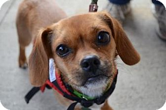 Chihuahua/Pug Mix Dog for adoption in Rockaway, New Jersey - Sandra