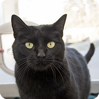 Domestic Shorthair Cat for adoption in Wilmington, Delaware - Violet