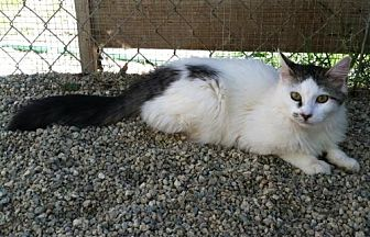 Domestic Mediumhair Kitten for adoption in Sherman Oaks, California - Harlo
