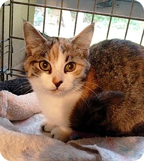 Domestic Shorthair Kitten for adoption in Lombard, Illinois - Berlin