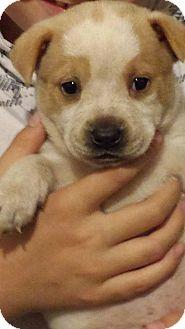 Australian Cattle Dog Mix Puppy for adoption in PO Box 7946, North Carolina - Peach