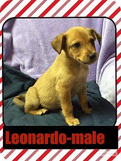 Beagle/Feist Mix Puppy for adoption in Harrisonburg, Virginia - Leonardo (Pom)