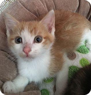 Domestic Shorthair Kitten for adoption in Wayne, New Jersey - Fairfax