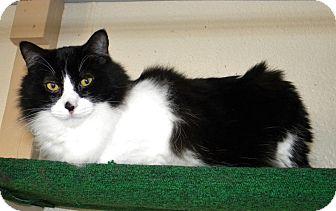 Domestic Longhair Cat for adoption in Prescott, Arizona - Einstein
