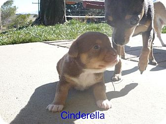 Chihuahua/Miniature Pinscher Mix Puppy for adoption in Tehachapi, California - Cinderella